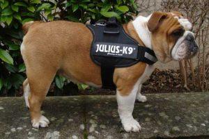 Pettorine Julius K9: Recensioni, opinioni e prezzi delle migliori pettorine