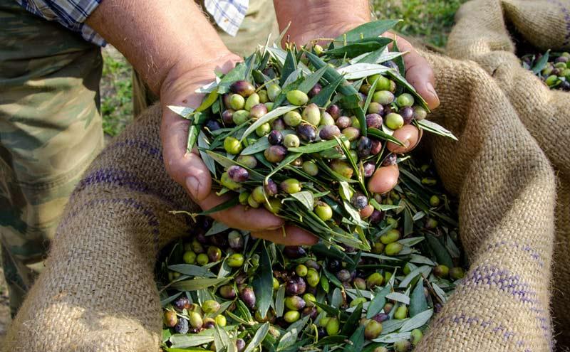 Olive raccolte con lo scuotitore